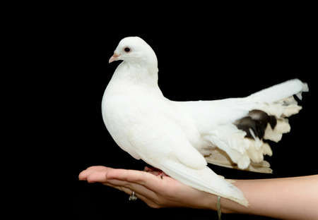 White dove on his hand. On a black background. Stock Photo - 14837491