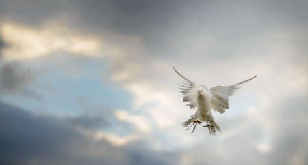 White dove in flight on the background of dramatic sky Stock Photo - 14837520