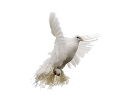 White dove in flight. Isolated on white Stock Photo - 14837483