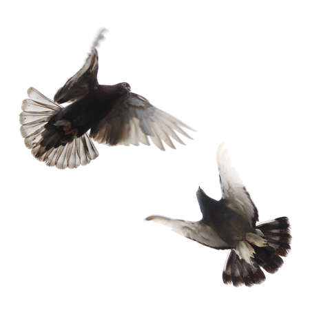 Dove in flight. Isolated on white bavckground photo