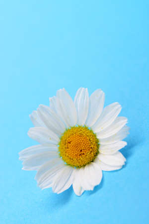 Wild chamomile. White flowers on a dark blue background Stock Photo - 14837522