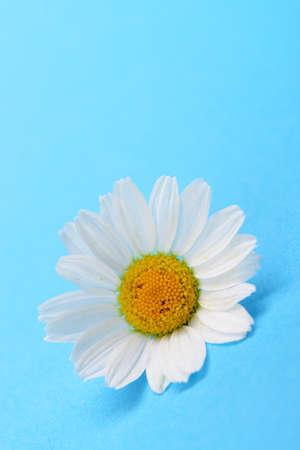 Wild chamomile. White flowers on a dark blue background Stock Photo - 14837522