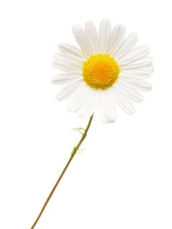 Wild chamomile. Isolated on white background Stock Photo - 14837485