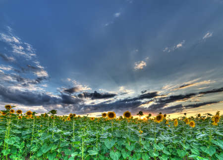 The landscape of the field with sunflower. High Dynamic Range photograhy photo