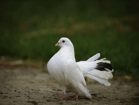 White dove to blur the background photo