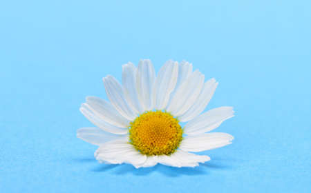 Wild chamomile. White flowers on a dark blue background Stock Photo - 14895124