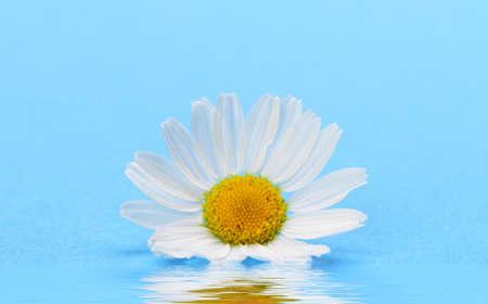 campo de margaritas: Manzanilla salvaje con reflejo en el agua. Flores blancas en un fondo azul oscuro Foto de archivo