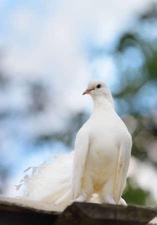 White dove to blur the background Stock Photo - 15144129