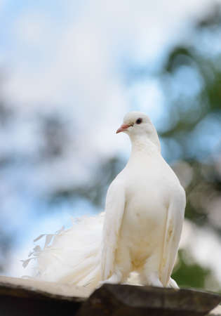 white pigeon: White dove to blur the background Stock Photo