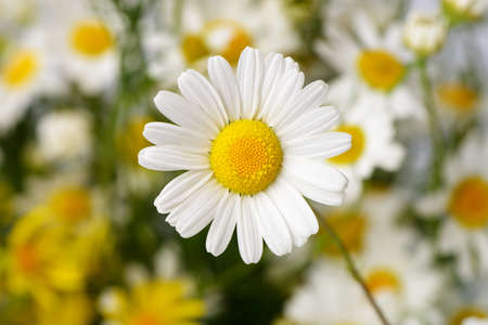 Wild chamomile. White flowers. Selective focus. Bokeh photo