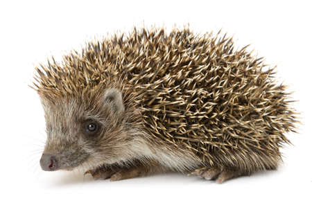 hedgehog: hedgehog isolated. Small mammal with spiny hairs on its back and sides