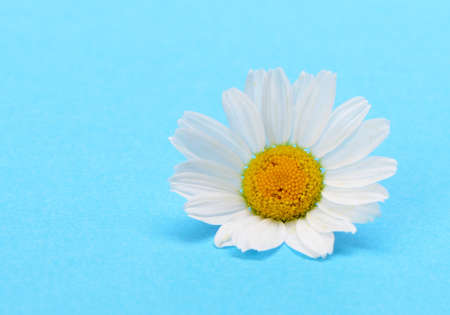 Wild chamomile. White flowers on a dark blue background Stock Photo - 15952917