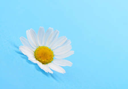 Wild chamomile. White flowers on a dark blue background Stock Photo - 16596817