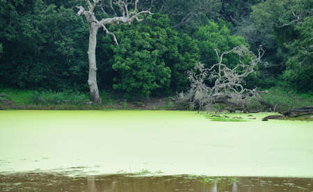 backwoods: The swamp. Marshland with snags in the country of Sri Lanka
