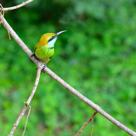 Tropical bird Merops. A bird in the wild. The national Park of Sri Lanka photo