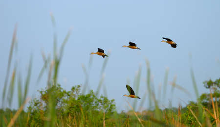 Wild duck. A bird in the wild. The national Park of Sri Lanka