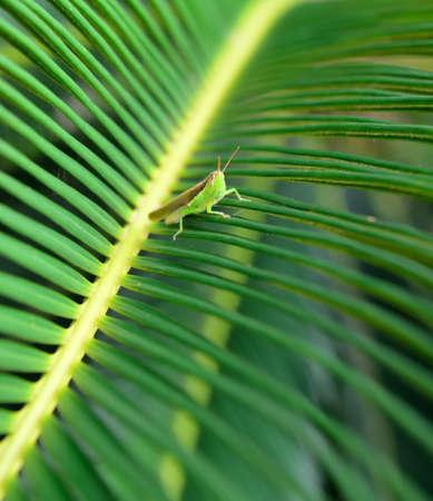 Grasshopper on a leaf . The national Park of Sri Lanka photo