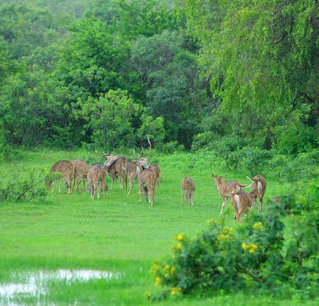 herd deer: herd of deer . The national Park of Sri Lanka