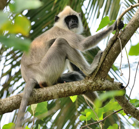 forest conservation: Monkeys in the living nature . Country Of Sri Lanka