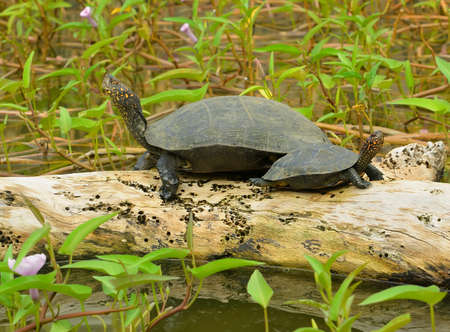turtle in the lake . The national Park of Sri Lanka Stock Photo - 17017697