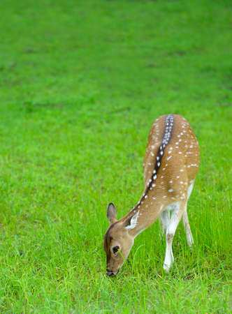 Deer in the wild . The national Park of Sri Lanka photo