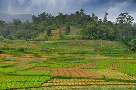 Agriculture in the tropics. The garden in the country Sri Lanka Stock Photo - 17230850