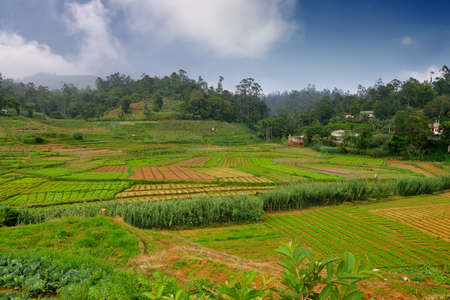 Agriculture in the tropics. The garden in the country Sri Lanka Stock Photo - 17335637