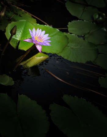 Nymphaea lotus. Nymphaea lotus, the Tiger Lotus, White lotus or Egyptian White Water-lily, is a flowering plant of the family Nymphaeaceae. Stock Photo - 17335419