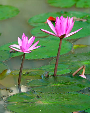Nymphaea lotus. Nymphaea lotus, the Tiger Lotus, White lotus or Egyptian White Water-lily, is a flowering plant of the family Nymphaeaceae. Stock Photo - 17335377