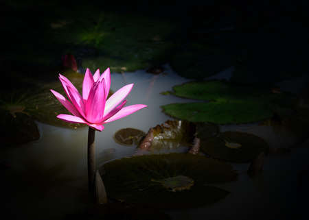 Nymphaea lotus. Nymphaea lotus, the Tiger Lotus, White lotus or Egyptian White Water-lily, is a flowering plant of the family Nymphaeaceae. Stock Photo - 17335421