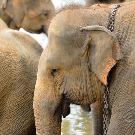 servitude: Elephant photo closeup. Country Of Sri Lanka Stock Photo