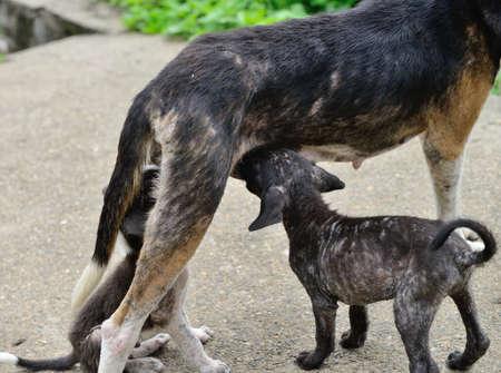 suckling: Dog feeding puppies. Homeless animals