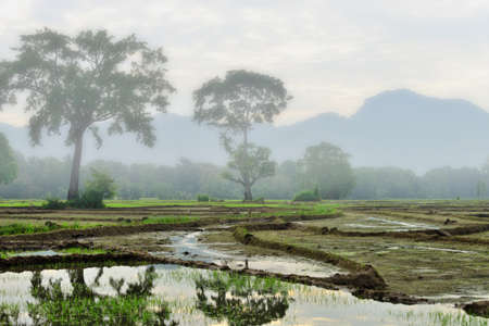 agriculture sri lanka: Rice fields early in the morning, the fog . The Island Of Sri Lanka