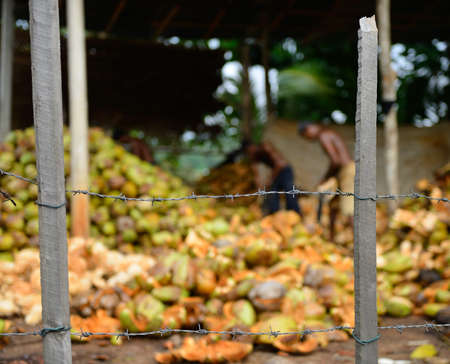 slave labor. The men behind barbed wire are working on putting coconuts Stock Photo - 17463947