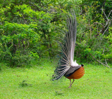 flaunt: peacock. A bird in the wild. The national Park of Sri Lanka Stock Photo