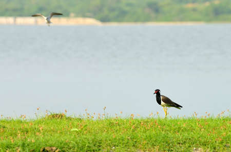 Tropical bird lapwing . A bird in the wild. The national Park of Sri Lanka photo