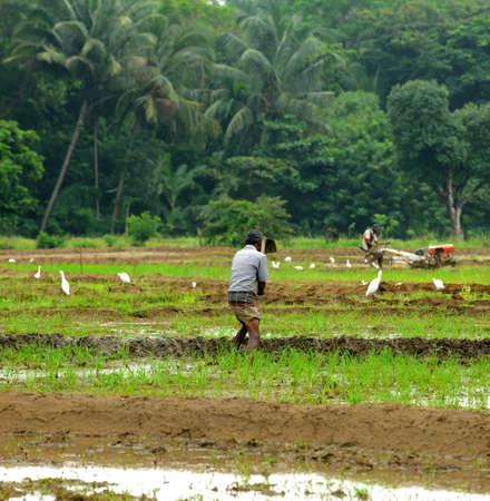 manual work of the man on the rice field. Island Sri Lanka Stock Photo - 17464205