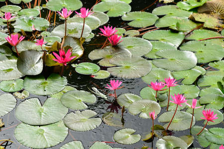 Nymphaea lotus. Nymphaea lotus, the Tiger Lotus, White lotus or Egyptian White Water-lily, is a flowering plant of the family Nymphaeaceae. Stock Photo - 17581407