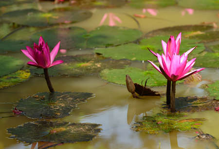 Nymphaea lotus. Nymphaea lotus, the Tiger Lotus, White lotus or Egyptian White Water-lily, is a flowering plant of the family Nymphaeaceae. Stock Photo - 17581380