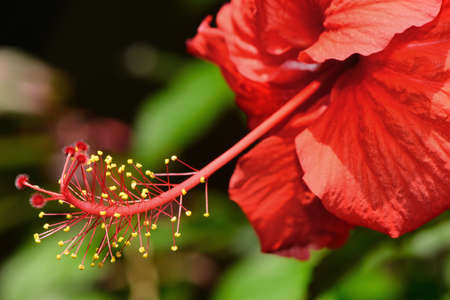 red hibiscus. The national Park of Sri Lanka Stock Photo