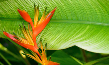 bird of paradise plant: Heliconia. Tropical flower. The national Park of Sri Lanka Stock Photo
