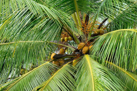 Palm tree with the fruit of coconut. Photo closeup Stock Photo
