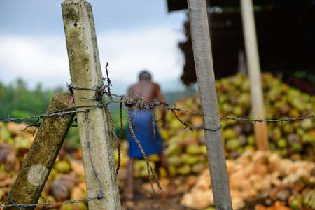 slave labor. The men behind barbed wire are working on putting coconuts Stock Photo - 17581517