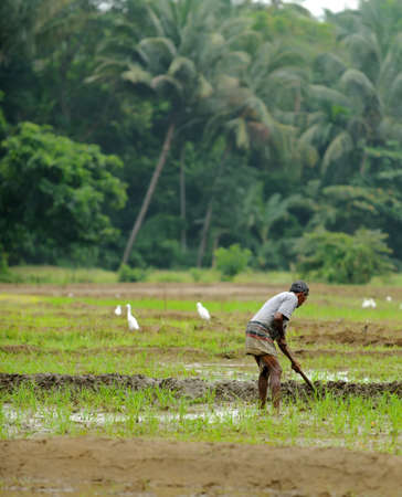 manual work of the man on the rice field. Island Sri Lanka Stock Photo - 17581360