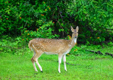 Deer in the wild . The national Park of Sri Lanka Stock Photo