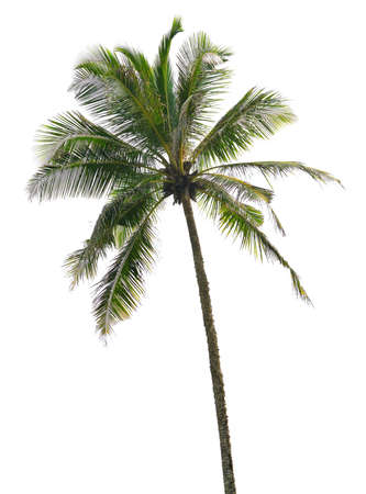Palm tree isolated. White color background