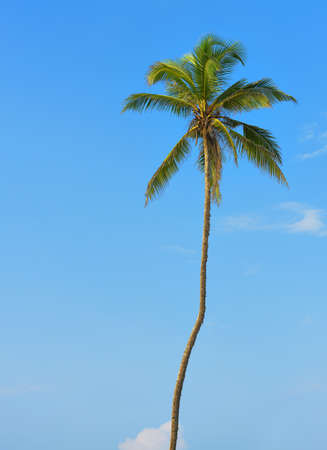 Palm tree with the fruit of coconut. Blue sky background