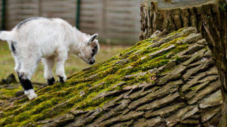 hircus: Adorable baby goat jumping around on a pasture and felled tree