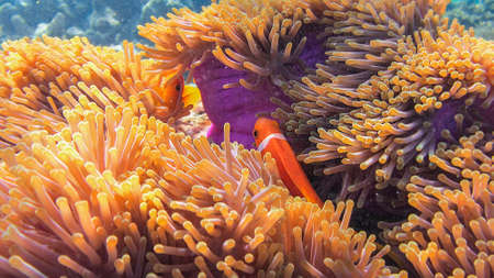clown anemonefish: A Clown Anemonefish, or Clownfish, Amphiprion percula, sheltering among the tentacles of its anemone, Marsa Alam, Egypt
