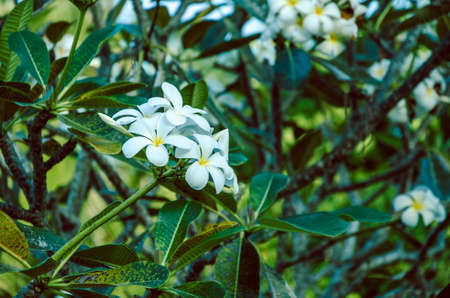 bush hog: Branche of white Tiare Flower , Gardenia taitensis, deep green leaf backgrund, thailand
